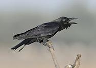 Large-billed Crow - Corvus macrorhynchos