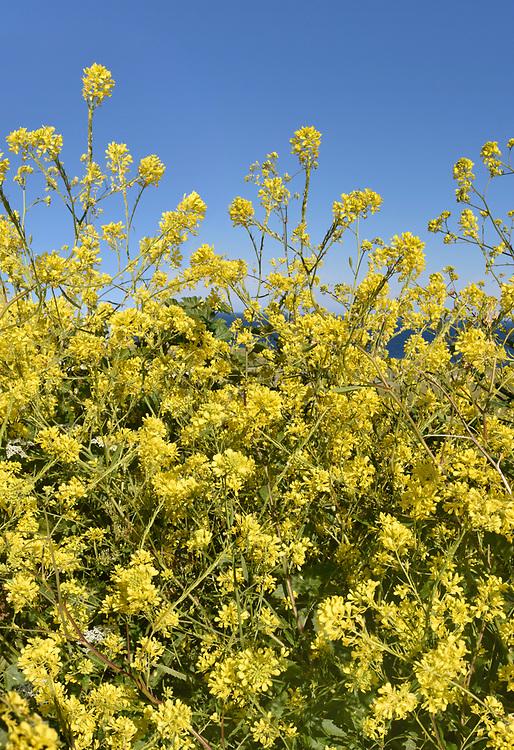 Black Mustard - Brassica nigra