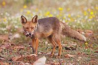 Fox (Vulpes vulpes) Spain, Monfrague, April 2009