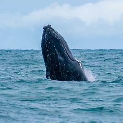 Baleia-jubarte (Megaptera novaeangliae) fotografado em Vitória, capital do Espírito Santo, Sudeste do Brasil. Oceano Atlântico. Registro feito em 2019.<br /> ⠀<br /> ⠀<br /> <br /> <br /> <br /> <br /> ENGLISH: Humpback Whale photographed in Vitória, Capital of Espírito Santo - Southeast of Brazil. Atlantic Ocean. Picture made in 2019.