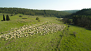 Aerial drone photography of a herd of sheep free grazing in the Carmel mountains, Israel