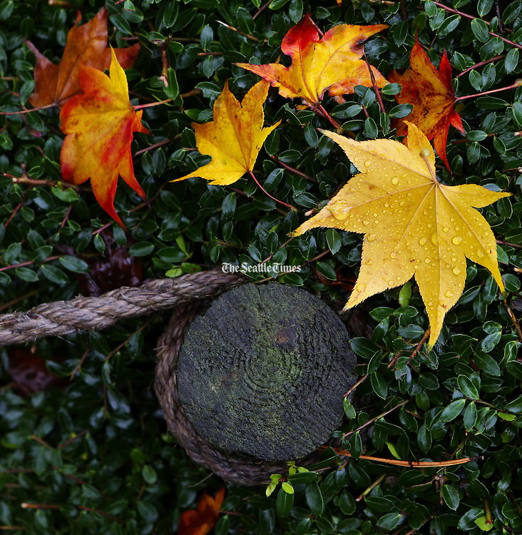 Leaves rest on a shrub, with a rope hand-rail running through it at the Seattle Japanese Garden. (Ken Lambert / The Seattle Times)