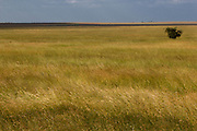 Rich fertile grasslands of the Serengeti plains feed millions of herbivores. Serengeti National Park, Tanzania.