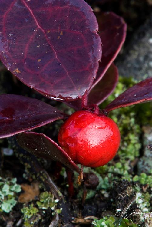 Wintergreen, Gaultheria procumbens, Lively, Ontario, Canada