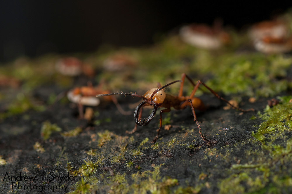 An army ant (Eciton sp.) soldier guards the rest of the swarm.