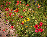 Red and California Poppy. Image taken with a Leica TL-2 camera and 55-135 mm lens
