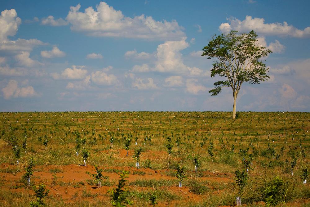 Sao Jose do Rio Preto_SP, Brasil...Programa Biota da Unesp, na foto plantacao de cafe...The Biota program of Unesp, in this photo the coffee agriculture...Foto: JOAO MARCOS ROSA / NITRO