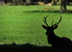 © licensed to London News Pictures. RICHMOND UK. 19/04/11. A stag takes advantage of a shady spot. Deer in Richmond Park, Surrey take to the shade early this morning as temperatures are expected to hit 25 degrees Celsius in the South East today (19 April 2011) . Forecasters predict temperatures will continue to rise over the coming week .See special instructions for usage rates. Photo credit should read Stephen Simpson/LNP
