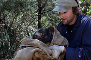 Biologist Drew Lee  from the Save The Tassie Devil program with a wild Tasmanian Devil that has been trapped on the Forestier Peninsula, Tasmania. Lee is checking the animal for signs of Devil Facial Tumour Disease - it turns out to be free of the disease, and is released back into the wild. .The disease is a contagious cancer that scientists are only beginning to understand, but has spread rapidly through the population, leaving the devil listed as endangered. In December 2009, it was announced that the disease may be related a peripheral nerve cell, called the Schwann cell, which has led some hopes for preserving the devil, at least in terms of quarantine insurance populations.  The scientists are trapping and monitoring the animals on the Forestier Peninsula as part of a programme to control the further spread of the disease.