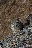 Snow leopard, Panthera uncia, 雪豹属, looking at camera at Serxu, Garze Prefecture, Sichuan Province, China