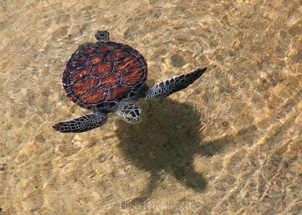 Rescued green sea turtle in Turks & Caicos
