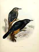 Male and female Tristram's Starling or Tristram's Grackle (Onychognathus tristramii [Here as Amydrus tristrami]). From the survey of western Palestine. The fauna and flora of Palestine by Tristram, H. B. (Henry Baker), 1822-1906 Published by The Committee of the Palestine Exploration Fund, London, 1884