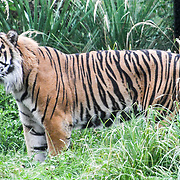 Tiger Annual weigh in at ZSL London Zoo on 23 August 2018, London, UK