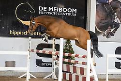 020, Vergilius van den Kievit<br /> Hengstenkeuring Brp- Azelhof - Lier  2021<br /> © Hippo Foto - Dirk Caremans<br /> 14/04/2021