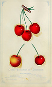 Good Varieties of Cherries from Dewey's Pocket Series ' The nurseryman's pocket specimen book : colored from nature : fruits, flowers, ornamental trees, shrubs, roses, &c by Dewey, D. M. (Dellon Marcus), 1819-1889, publisher; Mason, S.F Published in Rochester, NY by D.M. Dewey in 1872