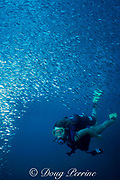 diver and baitfish at Navy Towers, Key West, Florida ( Gulf of Mexico ) MR 137