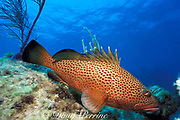 red hind ( grouper ),<br /> Epinephelus guttatus, <br /> Walker's Cay, Abaco Islands, <br /> Bahamas ( Western Atlantic Ocean )