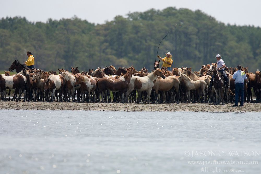 The ponies arrive at the channel...The 82nd Annual Pony Swim from Assateague Island across the Assateague Channel to Chincoteague Island was held on July 25, 2007.  Approximately 150 horses made the swim - from two herds (the northern herd in Maryland and the southern herd in Virginia).