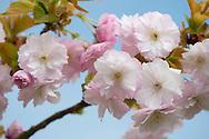 Cherry Blossom (Prunus) in April in Kew Gardens, London UK
