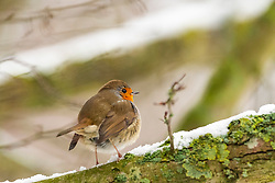 23-01-2019 NED: Birdwatch around your garden, Maarssen<br /> Roodborst (Erithacus rubecula)