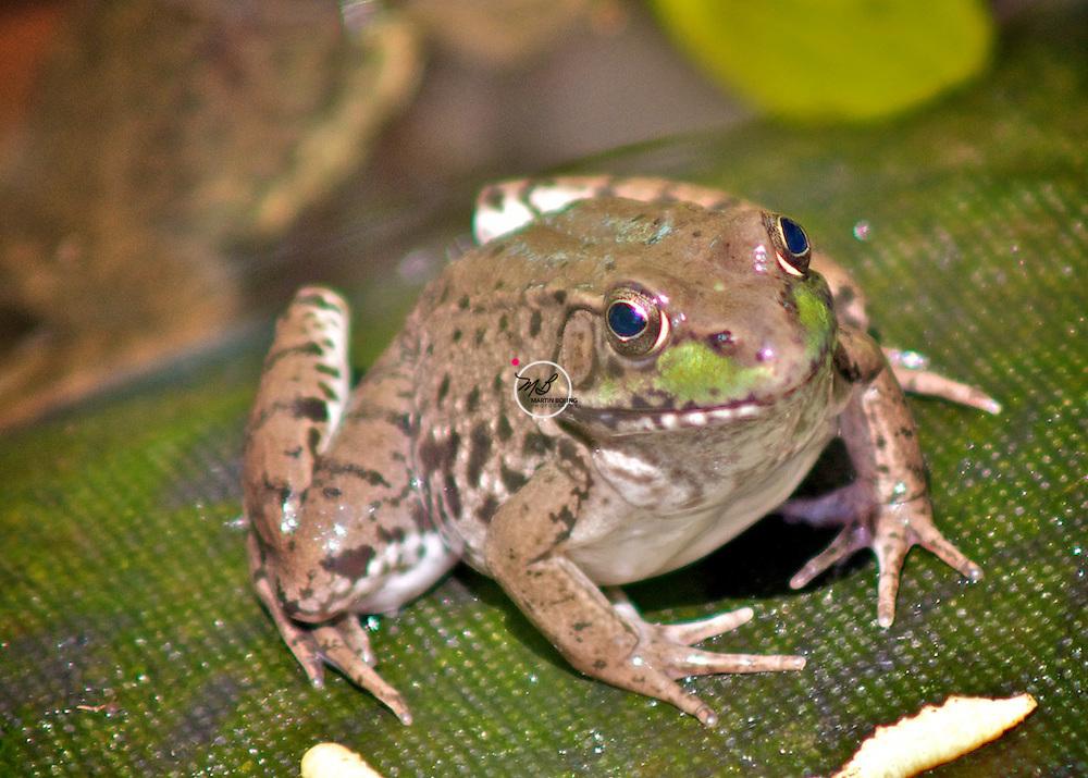 Frog Smiling Pond