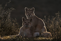 Two young pumas, Patagonia, Chile.<br /> <br /> BIO: Ingo Arndt was born in Frankfurt am Main, Germany. From early childhood, he spent every single minute of his spare time outdoors in nature. Soon he realised that photography was a useful tool in environmental protection, so, after finishing school in 1992, Ingo plunged into the adventurous life of a professional photographer. Since then, he has travelled around the globe for extended periods as a freelance wildlife photographer, photographing reports in which he portrays animals and their habitats. In the past few years he has been mainly on assignment for GEO and National Geographic Magazine. Ingo's photographs are mainly published in international magazines including GEO and National Geographic.<br /> <br /> WEBSITE: ingoarndt.com<br /> INSTAGRAM:@ingoarndtphotography