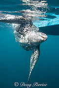 a critically endangered leatherback sea turtle, Dermochelys coriacea, is tied to the boat of traditional subsistence hunters after being harpooned and clubbed to death, Kei ( or Kai ) Islands, Moluccas, eastern Indonesia, Banda Sea, Southwest Pacific Ocean