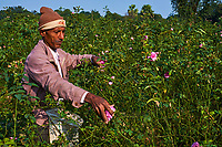 Inde, Uttar Pradesh, la ville des parfums où sont distillé les roses pour l'industrie du parfum, cueillette des roses // India, Uttar Pradesh, the city of perfumes where roses are distilled for the perfume industry, picking or roses