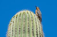 A female Gila Woodpecker, Melanerpes uropygialis, perches on a Saguaro cactus, Carnegiea gigantea,, in the Desert Botanical Garden, Phoenix, Arizona
