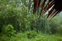 Rain pours of the palm thatch roof of the garden hut were we were staying while shooting Wallace's Standardwing in Halmahera.