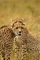 Two Cheetahs in the Masai Mara National Park, Kenya