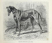 English Greyhound From the book ' Royal Natural History ' Volume 1 Section II Edited by  Richard Lydekker, Published in London by Frederick Warne & Co in 1893-1894