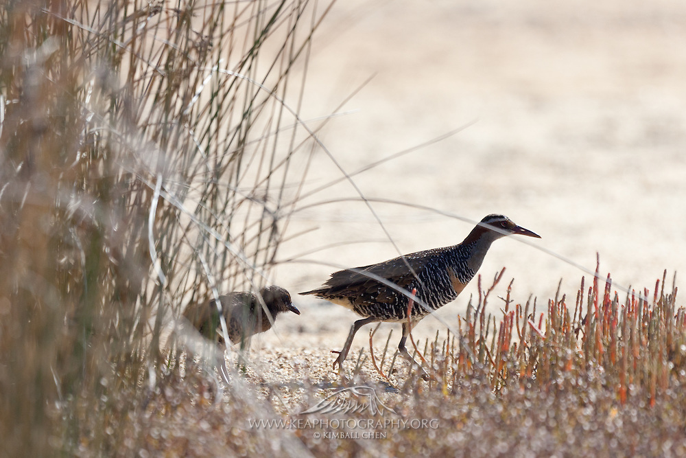 Banded Rail and its chick scamper across the mud flats along the estuary, near Kaiteriteri, New Zealand