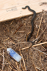 25 Sept, 2005. Cameron, Louisiana. Hurricane Rita aftermath. <br /> Snakes are a danger to locals as they try to escape the saline water.<br /> Photo; ©Charlie Varley/varleypix.com