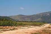 Vineyard. Chardonnay. Ktima Pavlidis Winery, Drama, Macedonia, Greece