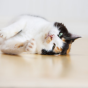 calico cat evelyn