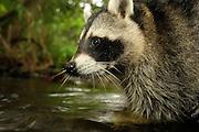[captive] Raccoon (Procyon lotor); Mölln  in Schleswig-Holstein, Germany | Waschbär (Procyon lotor); Mölln im Südosten Schleswig-Holsteins, Deutschland