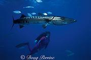 """great barracuda, Sphyraena barracuda, and diver,<br /> Provindenciales, """" Provo """",<br /> Turks and Caicos Islands<br /> ( Western Atlantic Ocean ) MR 157"""