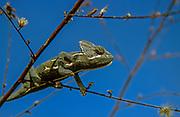 Veiled Chameleon (Chamaeleo calyptratus) portrait. Native to the Arabian Peninsula in Yemen and Saudi Arabia. Other common names include cone-head chameleon and Yemen chameleon