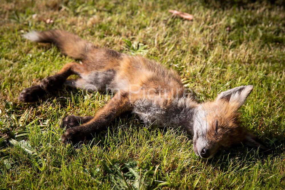 A young female urban fox who was found barely breathing on the side of the road on the 24th of June 2021 in Folkestone, United Kingdom. Suburban foxes are often seen as a nuisance, they have adapted to the changing conditions are capable of emptying bins to find food, they are common across many cities in the UK now.