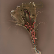 Lumen Print made from cereus cactus flower from a Tucson yard