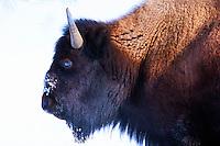 Bison, Hayden Valley (Bison bison), Yellowstone National Park, Wyoming