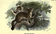 The European pine marten (Martes martes here as Mustela martes), also known as the pine marten or the European marten, is a mustelid native to and widespread in Northern Europe From the book ' A hand-book to the British mammalia ' by  Richard Lydekker, 1849-1915  Published in London, by Edward Lloyd in 1896