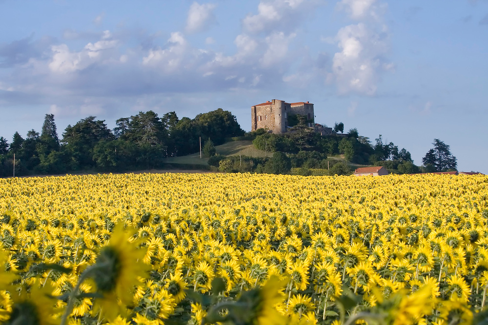 Sunflower field nearby the village Antiongt, Auvergne, France. With an old French home on a hill in the back.