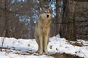 Gray wolves  (Canis lupus) in winter habitat. Captive animals.