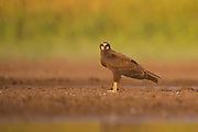 Black Kite (Milvus migrans) near water Photographed at the Ein Afek nature reserve, Israel in October