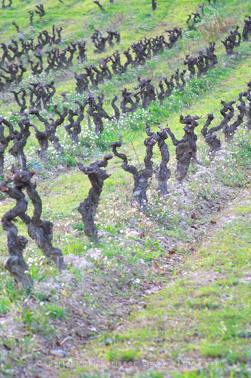 Chateau Pech-Latt. Near Ribaute. Les Corbieres. Languedoc. Vines trained in Gobelet pruning. Terroir soil. The vineyard. France. Europe.