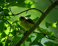 Tufted Titmouse. Sourland Mountain Preserve. Image taken with a Nikon D300 camera and 80-400 mm VR lens.