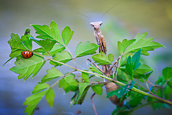 Praying mantis and ladybug, Trinity River Audubon Center, Dallas, Texas, USA.