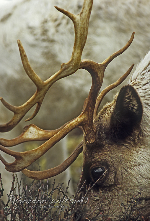A reindeer feeds on lichens in tundra near Snopa, Russia, a tiny hamlet near the Arctic Ocean shores  of the Barents Sea, about 500 miles northeast of Arkhangelsk.